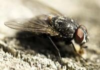 Zašto je teško uloviti muhu